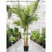 Королевские пальмы