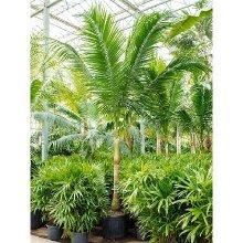 Редкие пальмы